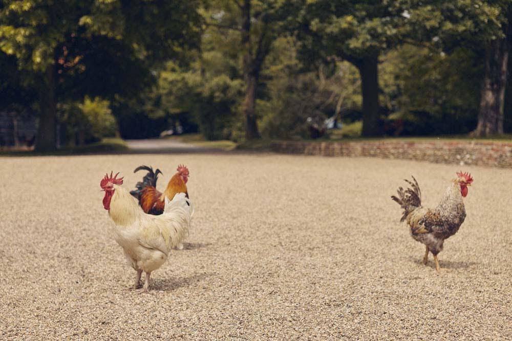 chickens at wedding, Barrandov Opera, Needham Market - www.helloromance.co.uk