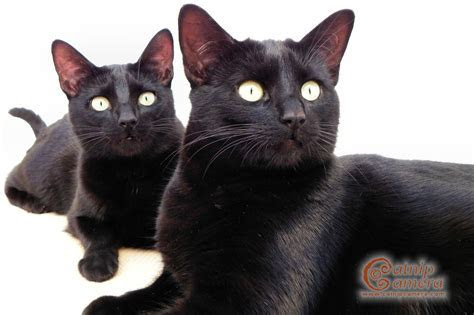 Black Cats   Catnip Camera