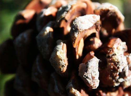 Pinjenötter