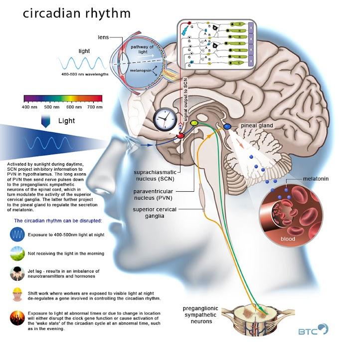 Infographic : Circadian Rhythm