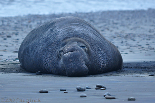 Elephant seal after sunset