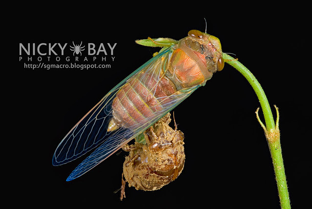 Cicada (Cicadidae) - DSC_7337