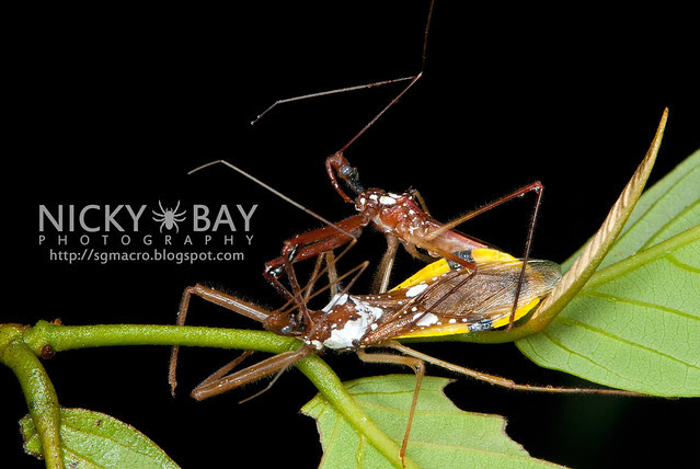 Assassin Bug (Reduviidae) - DSC_3986