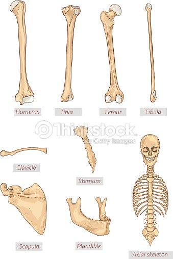 上腕骨脛骨大腿骨腓骨鎖骨胸骨肩甲骨下顎骨軸骨格の詳細な医療イラスト