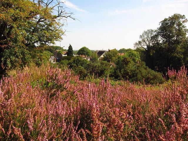 Heather Above the Vale of Health, Hampstead Heath