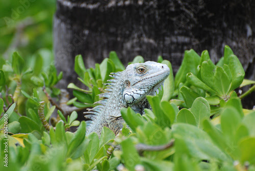 Light Green Iguana on Top of a Bush