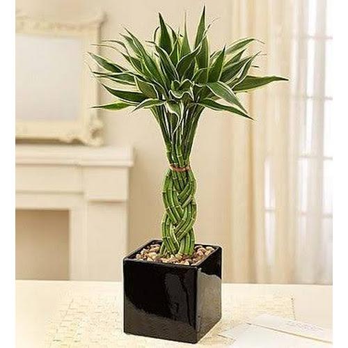 1-800 Flowers Modern Bamboo Plant