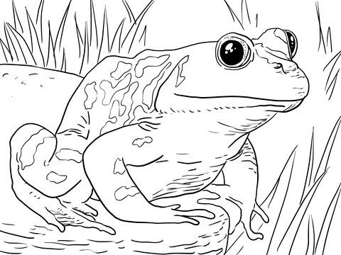 Dibujo De Rana Toro Adulta Macho Para Colorear Dibujos Para