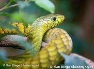 La mamba verde, un reptil más bien tímido.