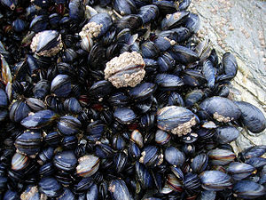 Mussels and barnacles in the intertidal near N...