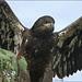 Juvenile Bald Eagle showing his might, LB