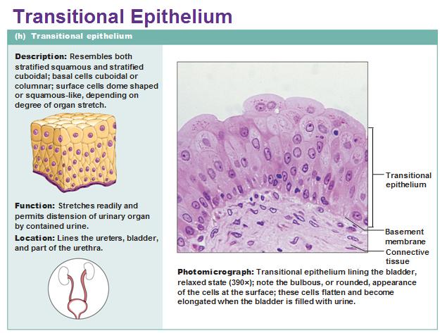 Epithelial Tissue Diagram