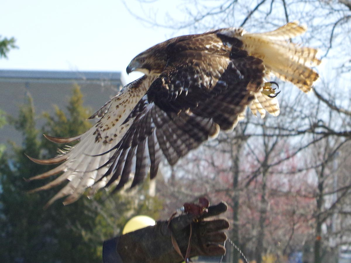 red tailed hawk links