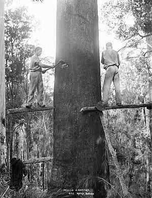 A Mountain Ash (Eucalyptus regnans) being fell...