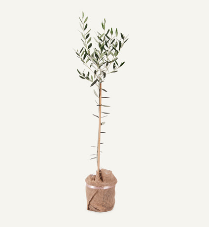 Grow Your Own Olive Tree - Olive Central