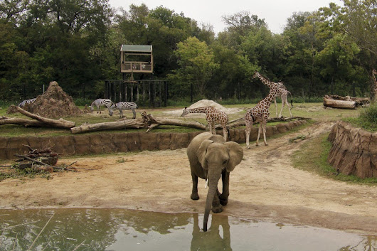 Vote - Giants of the Savanna - Dallas Zoo - Best Zoo Exhibit Nominee:  2015 10Best Readers' Choice Travel Awards