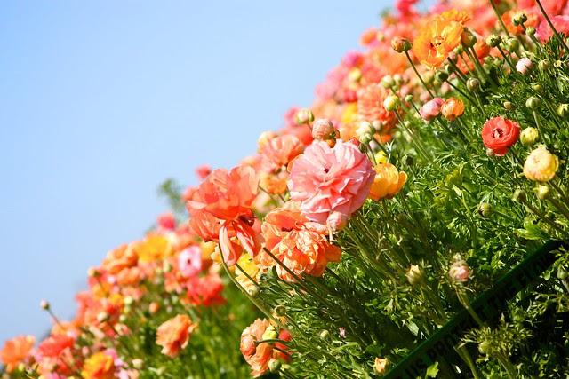 Carlsbad Flower Fields April 2012 25
