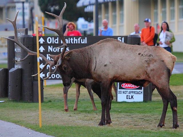 IMG_0183 Elk, Mammoth Hot Springs