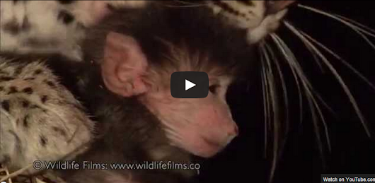 Eat/love prey? This video of a leopard and a baby baboon says it all