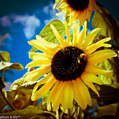 Sunflower & bumblebee by Jean-Fabien - photo & life™