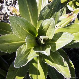 Kenyatta Flowering Plant