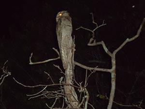 Pássaro Urutau tenta se camuflar entre os galhos das árvores (Foto: Fabiane Nascimento / Arquivo Pessoal)