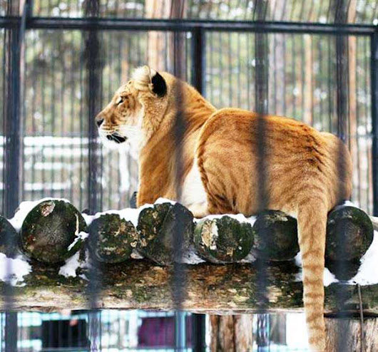 Russian Ligers - The First ever Liger in Russia