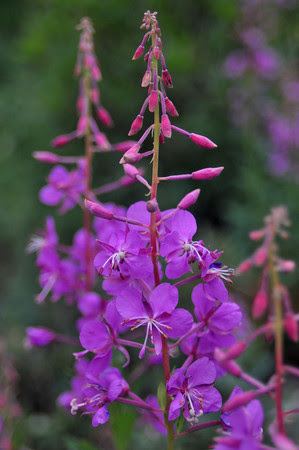Fireweed along Schofield Pass