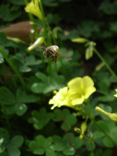 Bee above sorrel