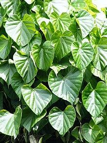 Tinospora cordifolia.jpg