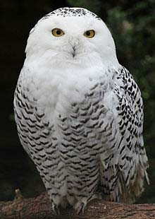 Snowy Owls Science Symbolism News Crystalinks