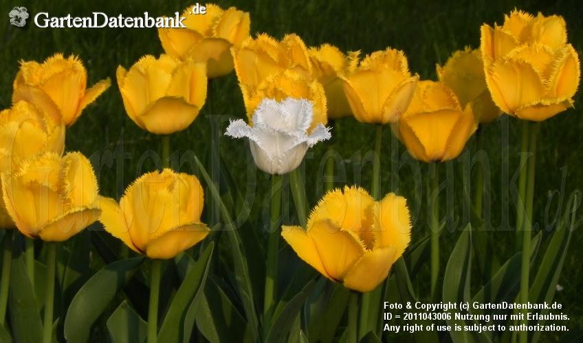 Tulipa Crispa