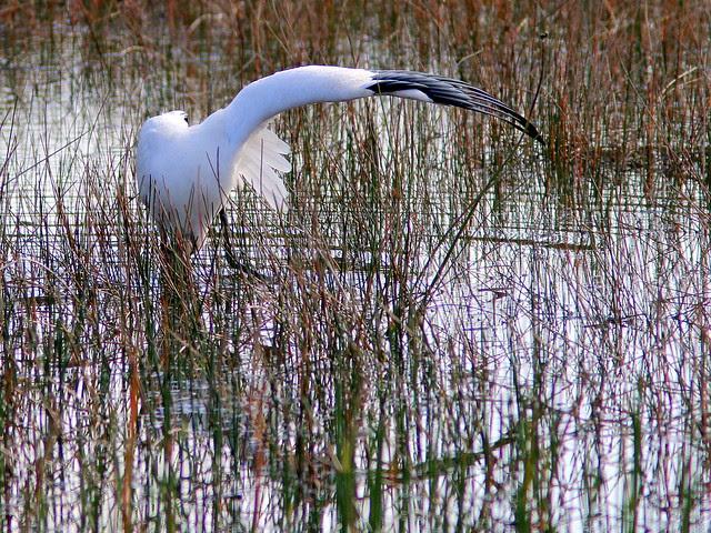 Wood Stork 20130406