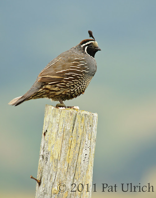 Male California quail - Pat Ulrich Wildlife Photography