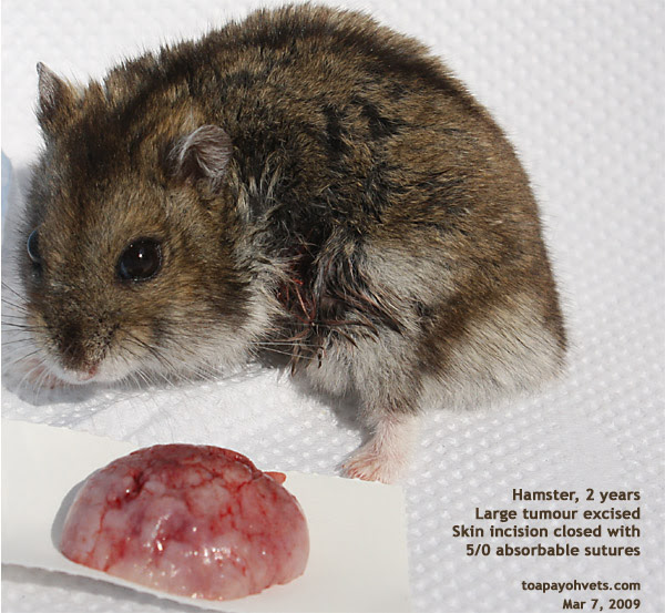 http://www.kongyuensing.com/pic/20080309Hamster_Dwarf_2_years_Large_Fat_Tumour_Excised_ToaPayohVets.jpg