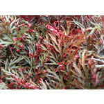 RUBY RED SPIKEMOSS Fern Plant Selaginella Unusual Cold Tolerant Houseplant or Outdoor Shade Garden Starter Size 4 Inch Pot Emerald tm