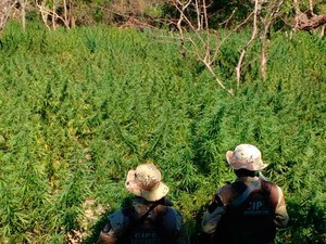 Plantação de maconha foi destruída no domingo (Foto: Divulgação/Polícia Militar)