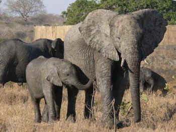 ElephantMomBaby.jpg (57445 bytes)