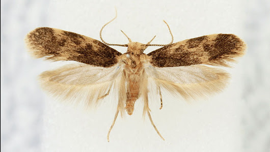 New moth in Europe: A southern hemisphere species now resident in Portugal