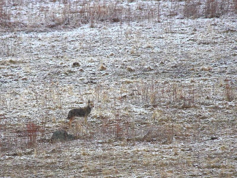 IMG_8190 Coyote