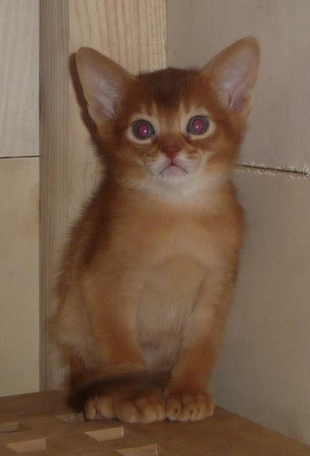 En av sorrelkattungene oppe på fødekassen i kattungebingen :)