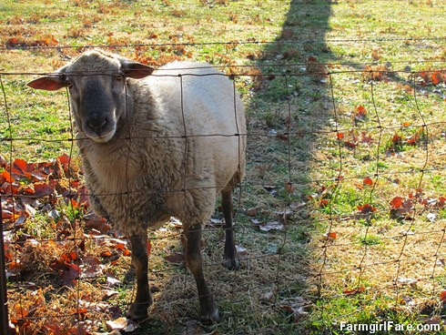 (3) The Kid, our yearling Katahdin Suffolk cross ram - FarmgirlFare.com