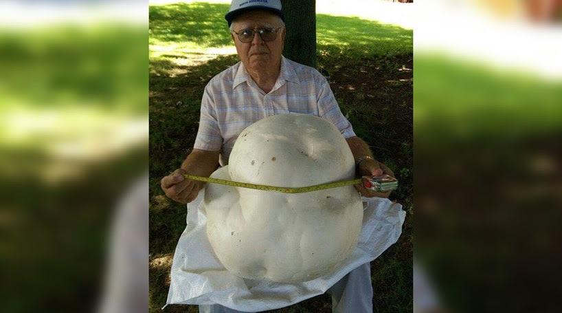 Encontra cogumelo com quase sete quilos