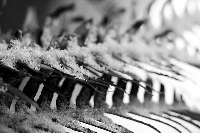 snowy fern, portland