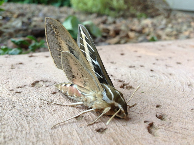 sphinx moths II