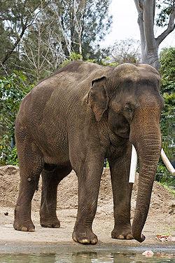 Asian elephant - melbourne zoo.jpg