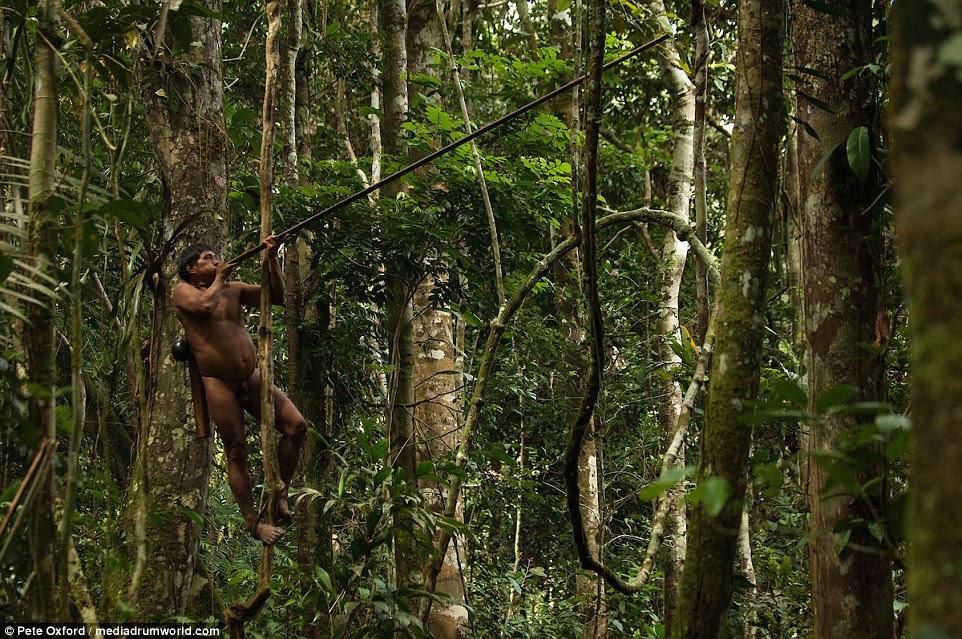 Um caçador de Huaorani shins acima de uma árvore e dispara um dart do blowpipe em um macaco