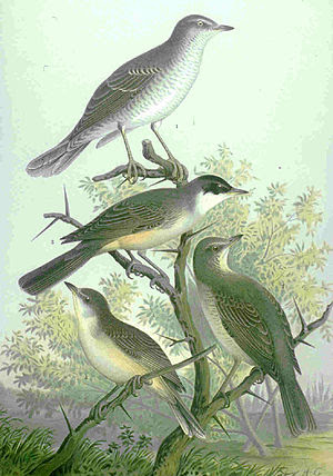 Western Orphean Warbler (male in center)