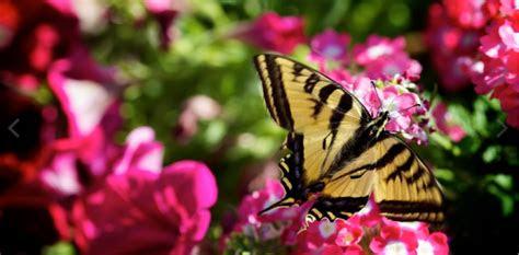 gambar kupu kupu wallpaper kupu kupu cantik terindah