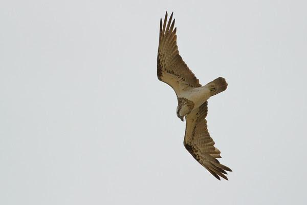 Osprey (Pandion haliaetus) - Birds at Alexandria Bay, Noosa National Park, Noosa Heads, Sunshine Coast, Queensland, Australia; 29 March 2011. Photos by Des Thureson: http://disci.smugmug.com.